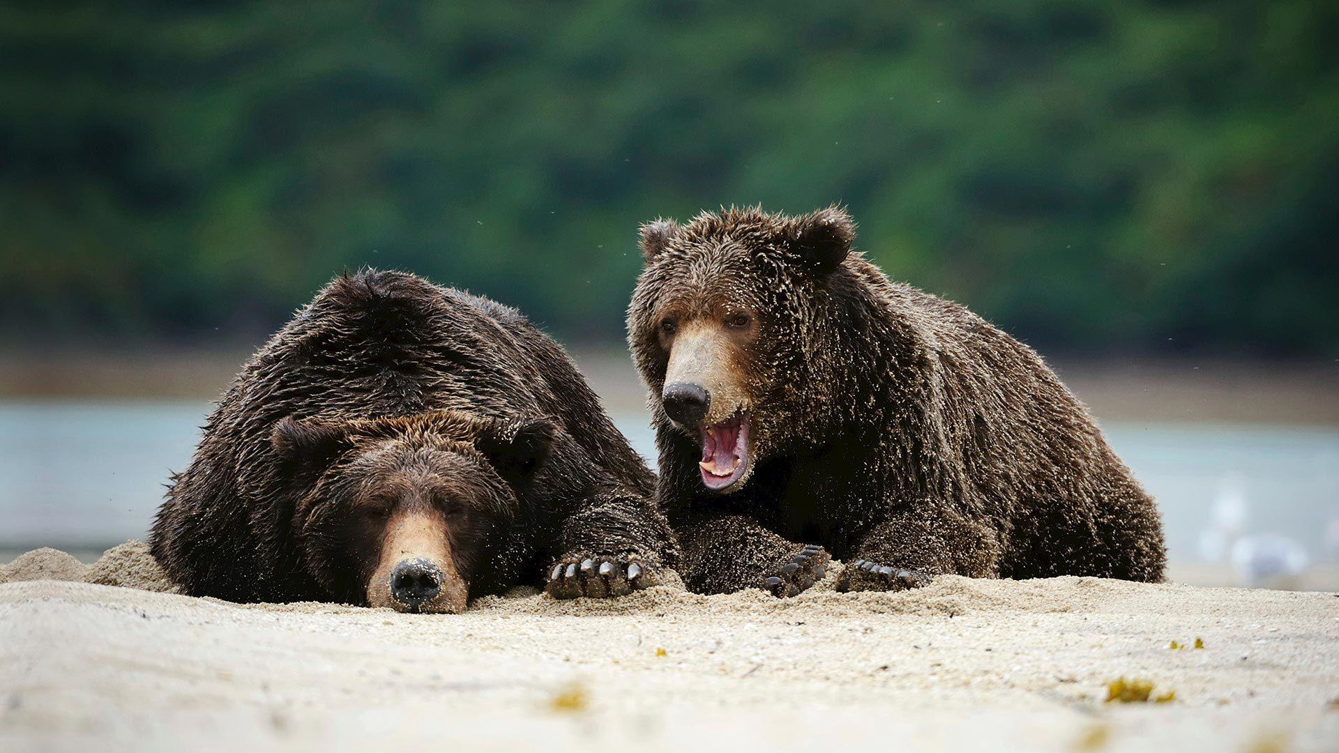 卡特迈国家公园里的棕熊