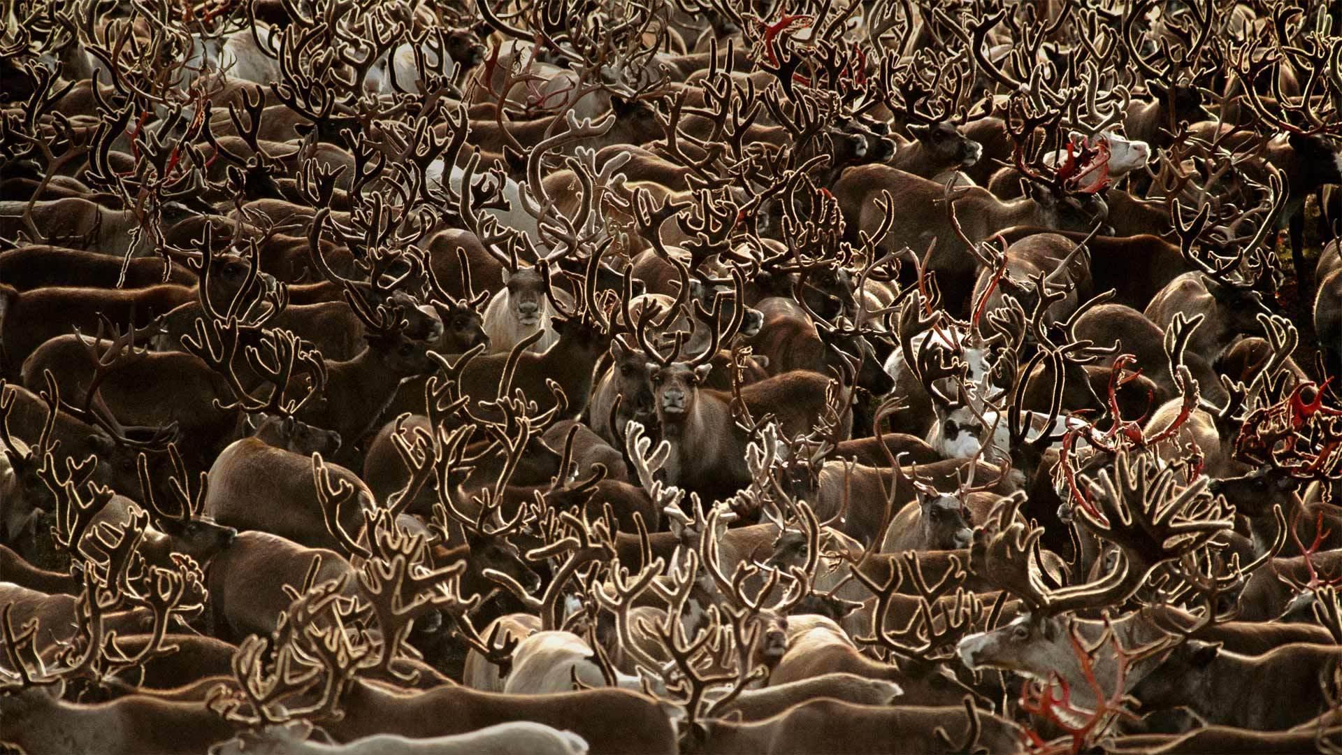 科伯克谷国家公园里的驯鹿