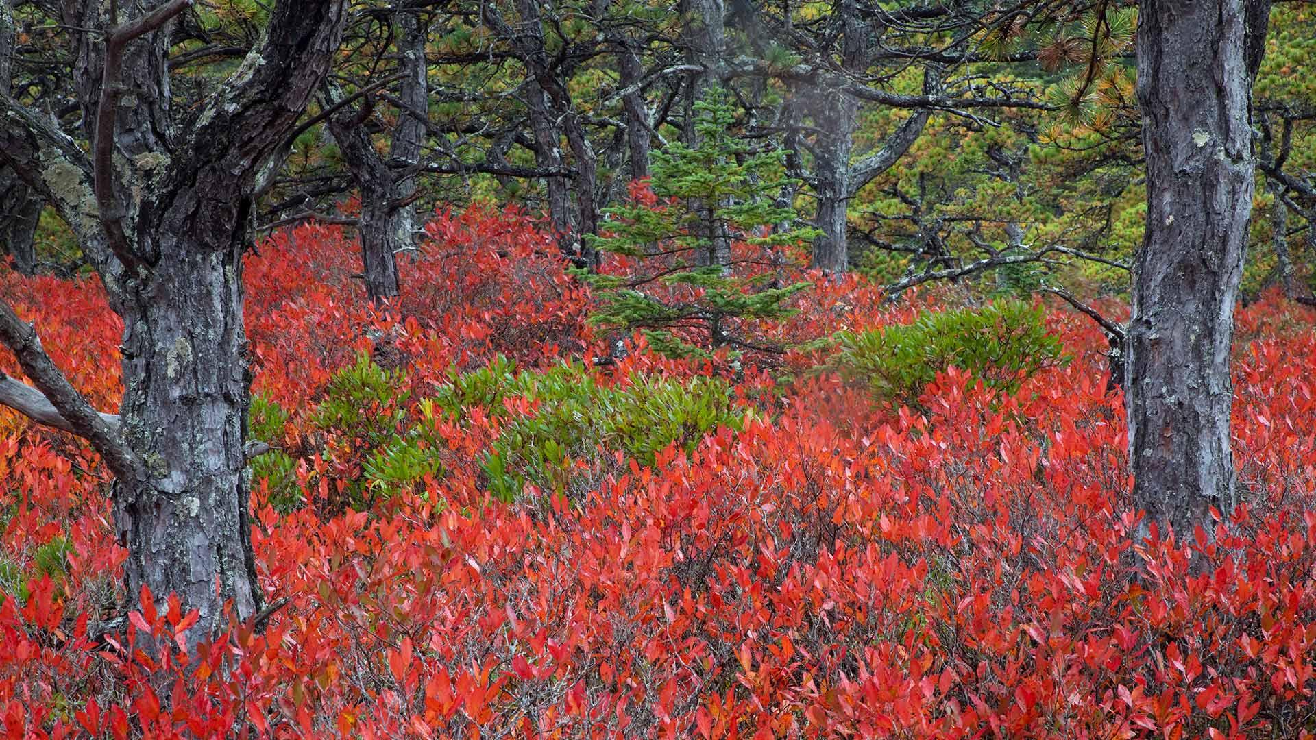 阿卡迪亚国家公园的高丛蓝莓植物