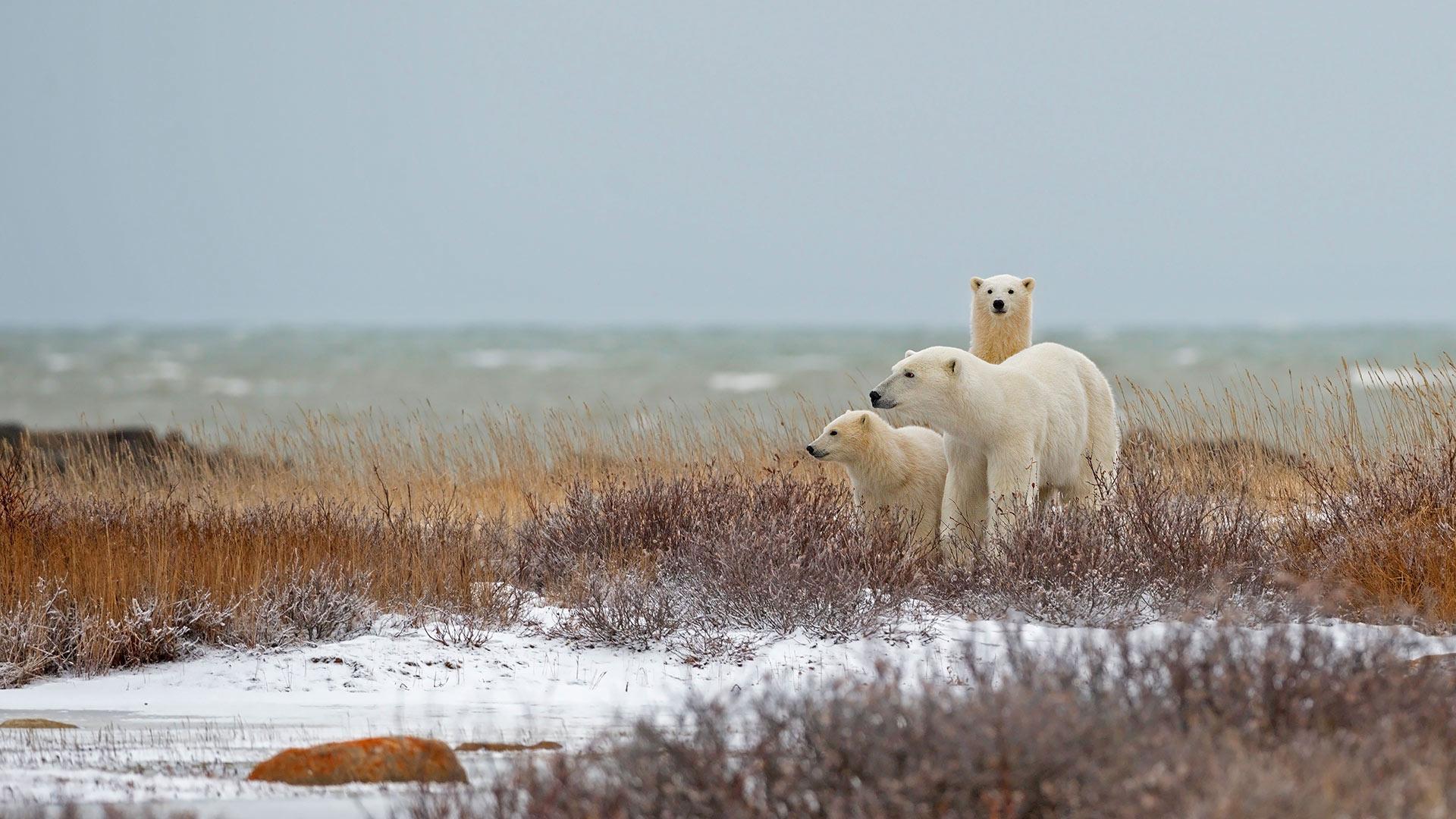 丘吉尔哈德逊湾附近的北极熊一家