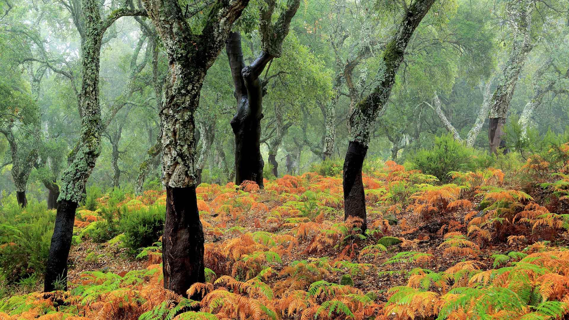 软木橡树林