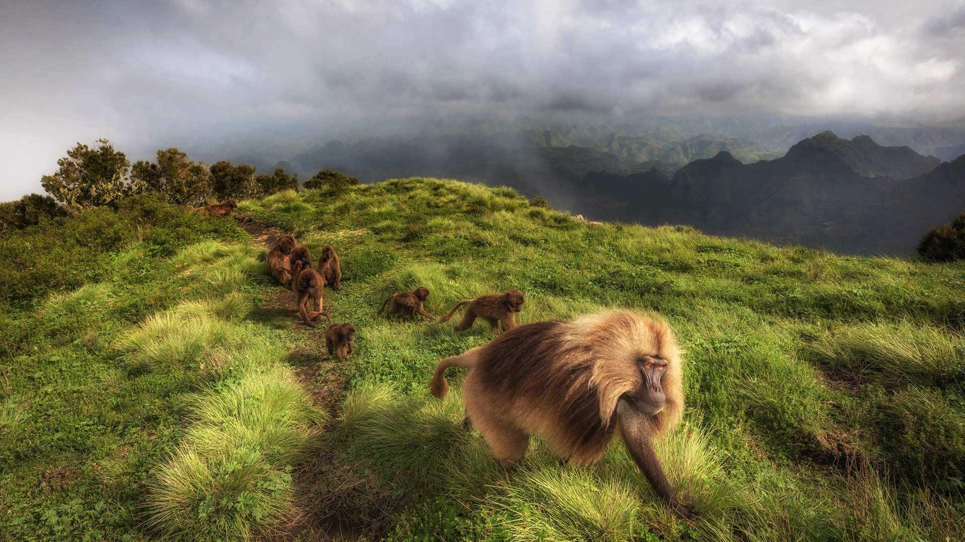 瑟门山国家公园里的狮尾狒狒狮尾狒狒