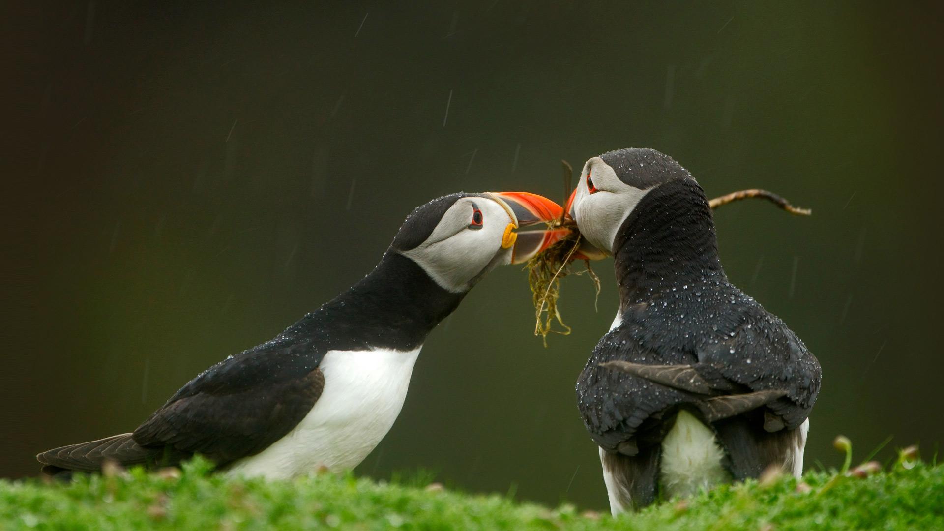 雄性大西洋海鹦将筑巢材料递给它的伴侣大西洋海鹦