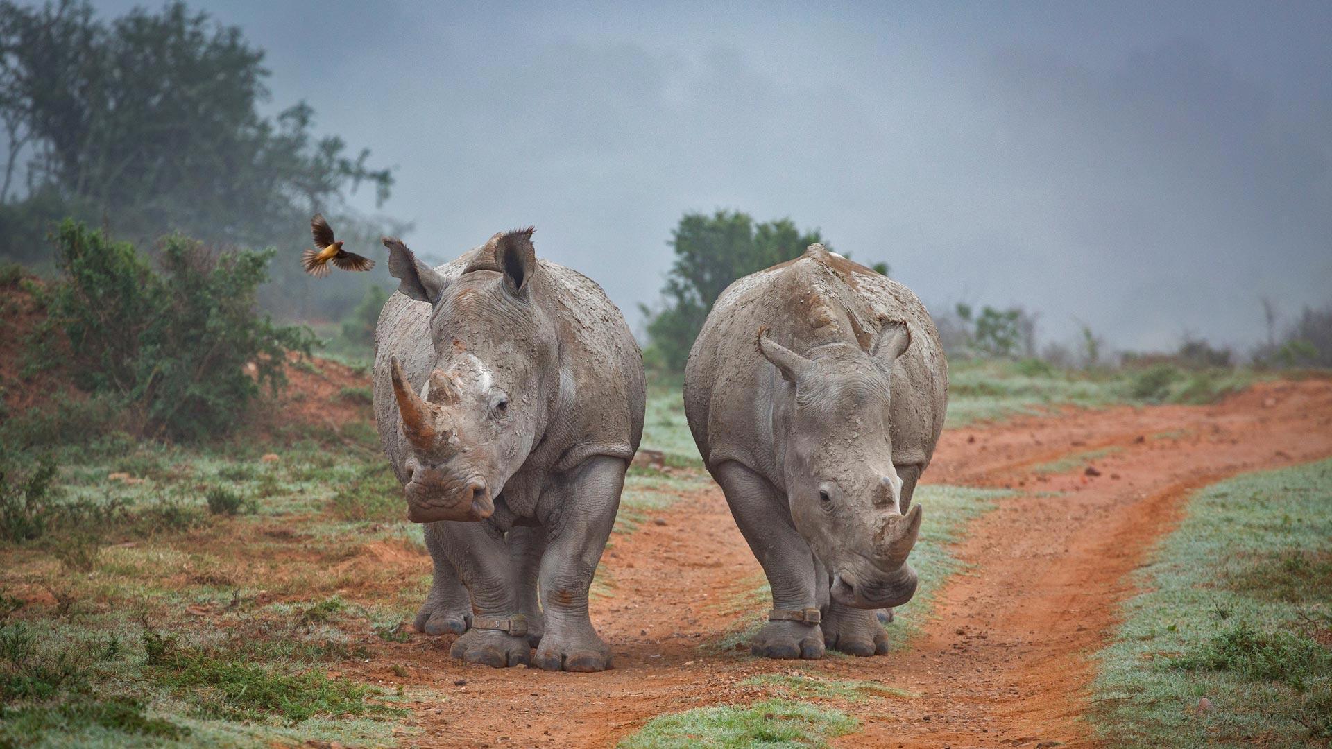阿姆哈拉禁猎区的两只犀牛和一只啄牛鸟犀牛