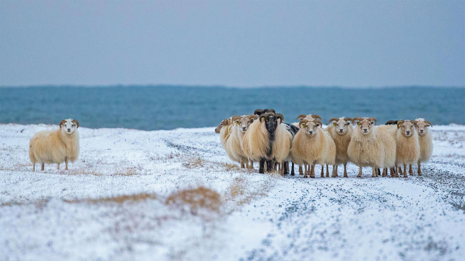 冰岛羊 冰岛羊