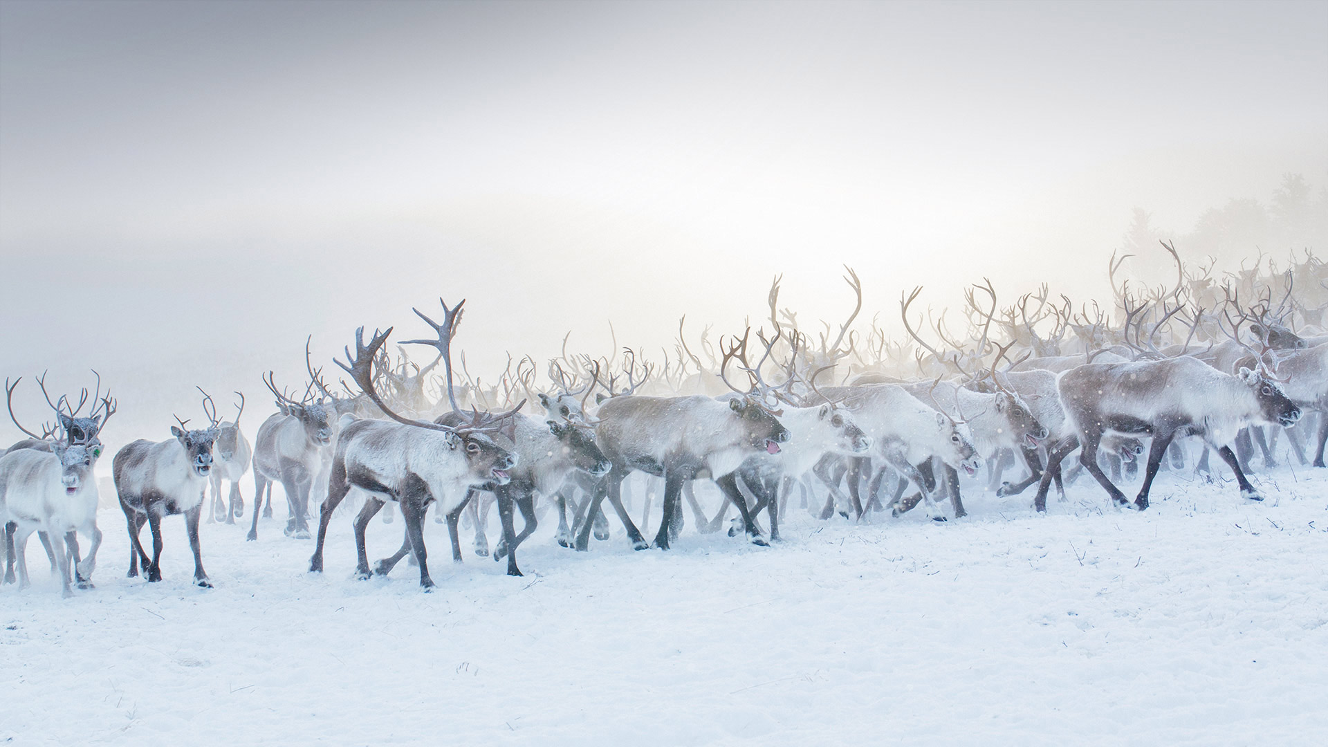 挪威的一群驯鹿 驯鹿