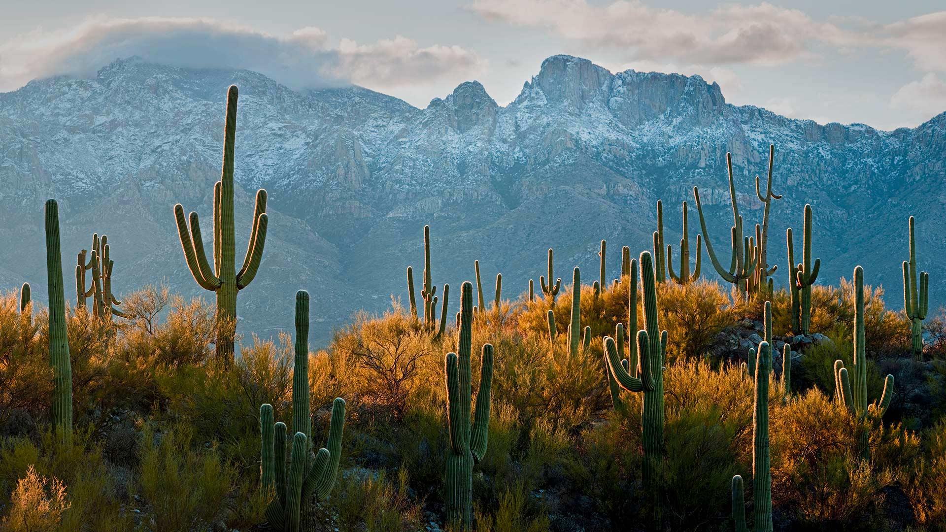 图森附近索诺兰沙漠中的巨柱仙人掌巨柱仙人掌