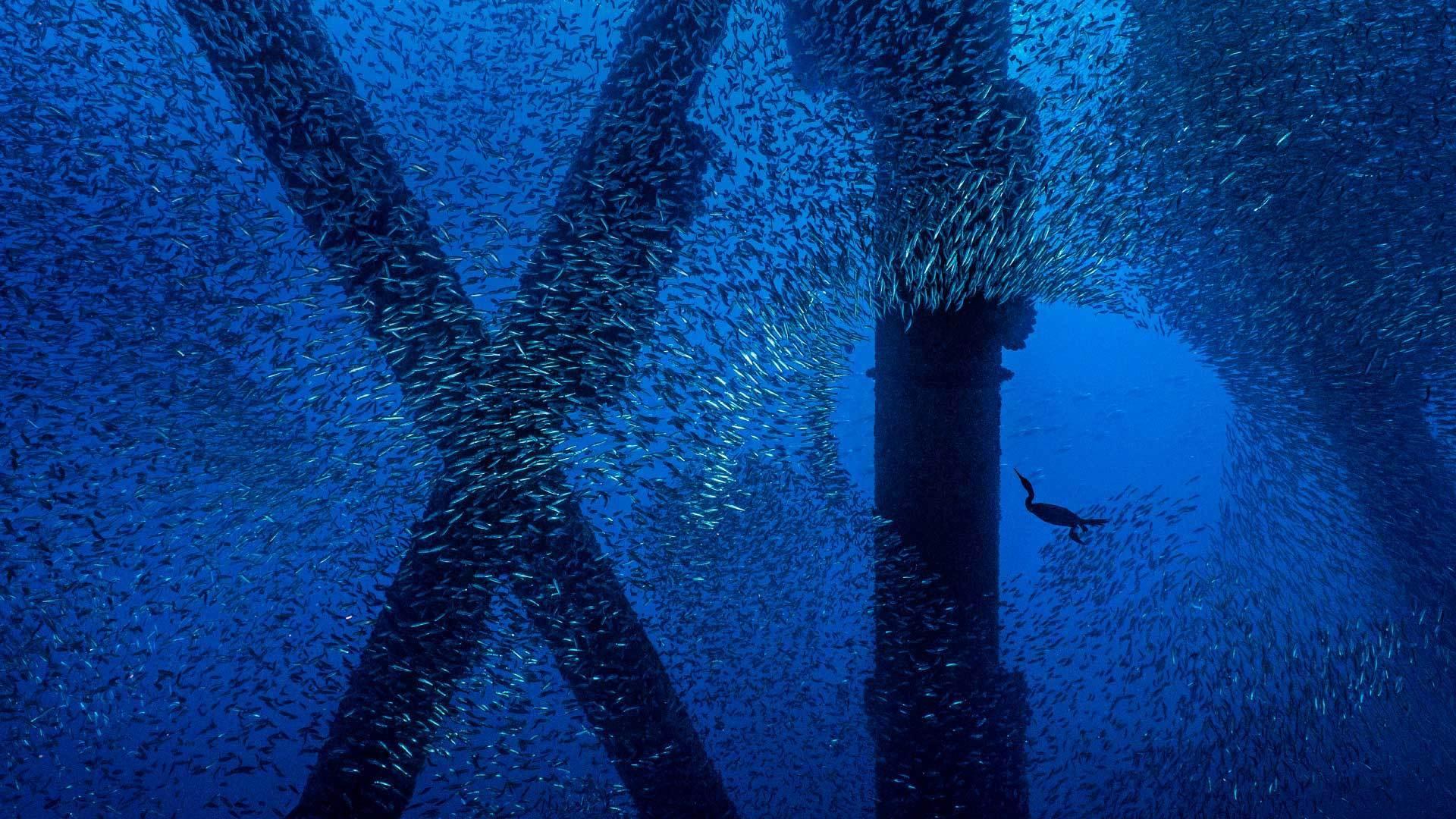 一只勃兰特鸬鹚在洛杉矶海岸石油钻塔下的一群太平洋鲭鱼中觅食勃兰特鸬鹚
