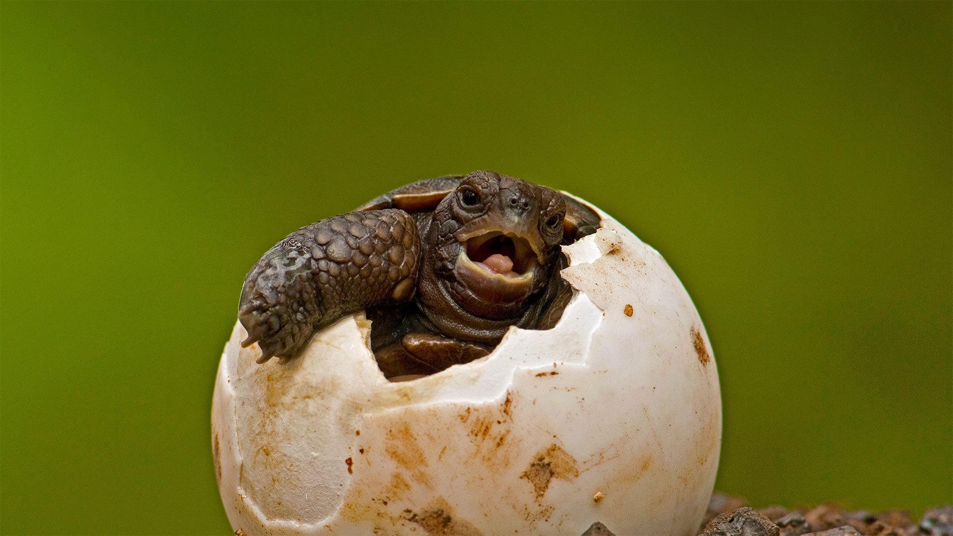 圣克鲁斯岛的查尔斯达尔文研究站内从卵中孵化出来的平松岛龟平松岛龟