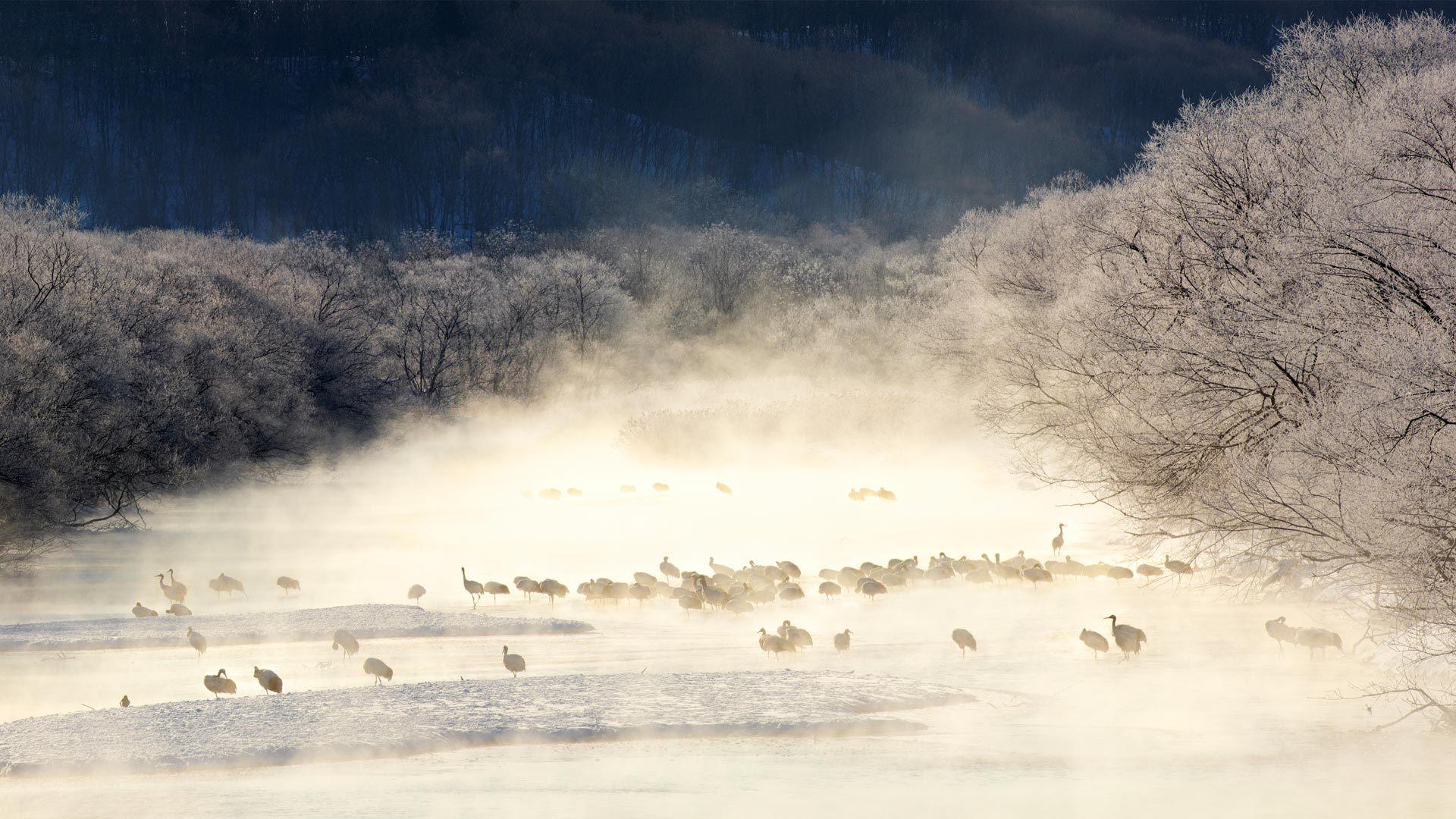 薄雾笼罩的河流中的丹顶鹤丹顶鹤