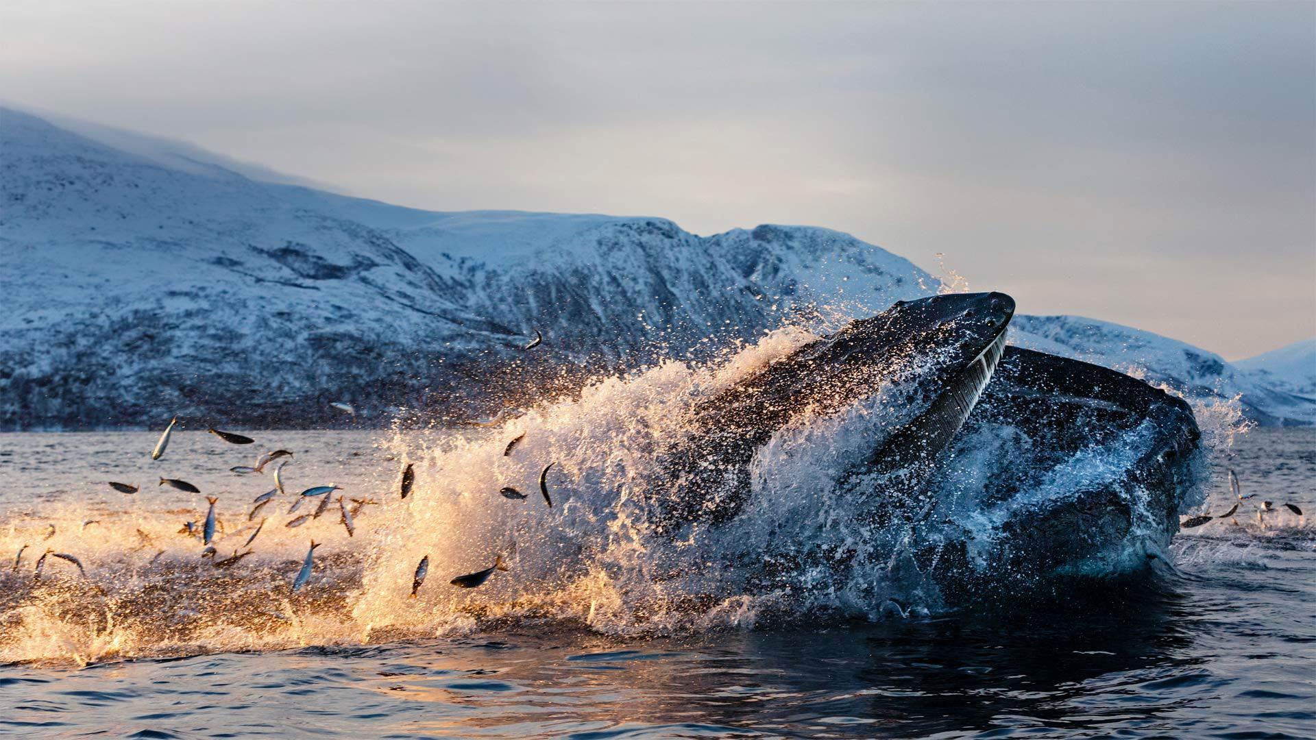 克瓦尔岛海岸以鲱鱼为食的座头鲸座头鲸