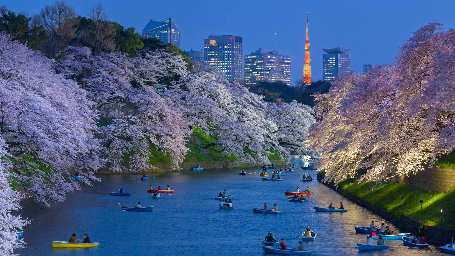 以东京塔为背景皇宫附近盛开的樱花樱花