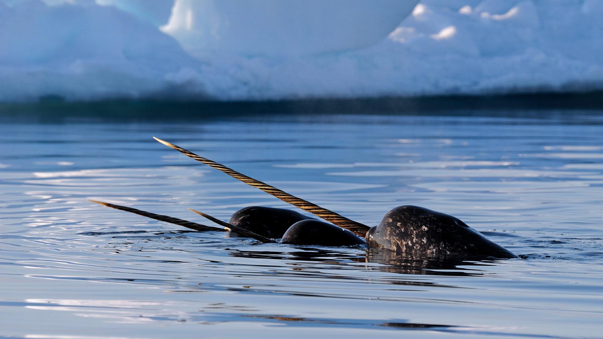 巴芬岛附近的一群独角鲸独角鲸