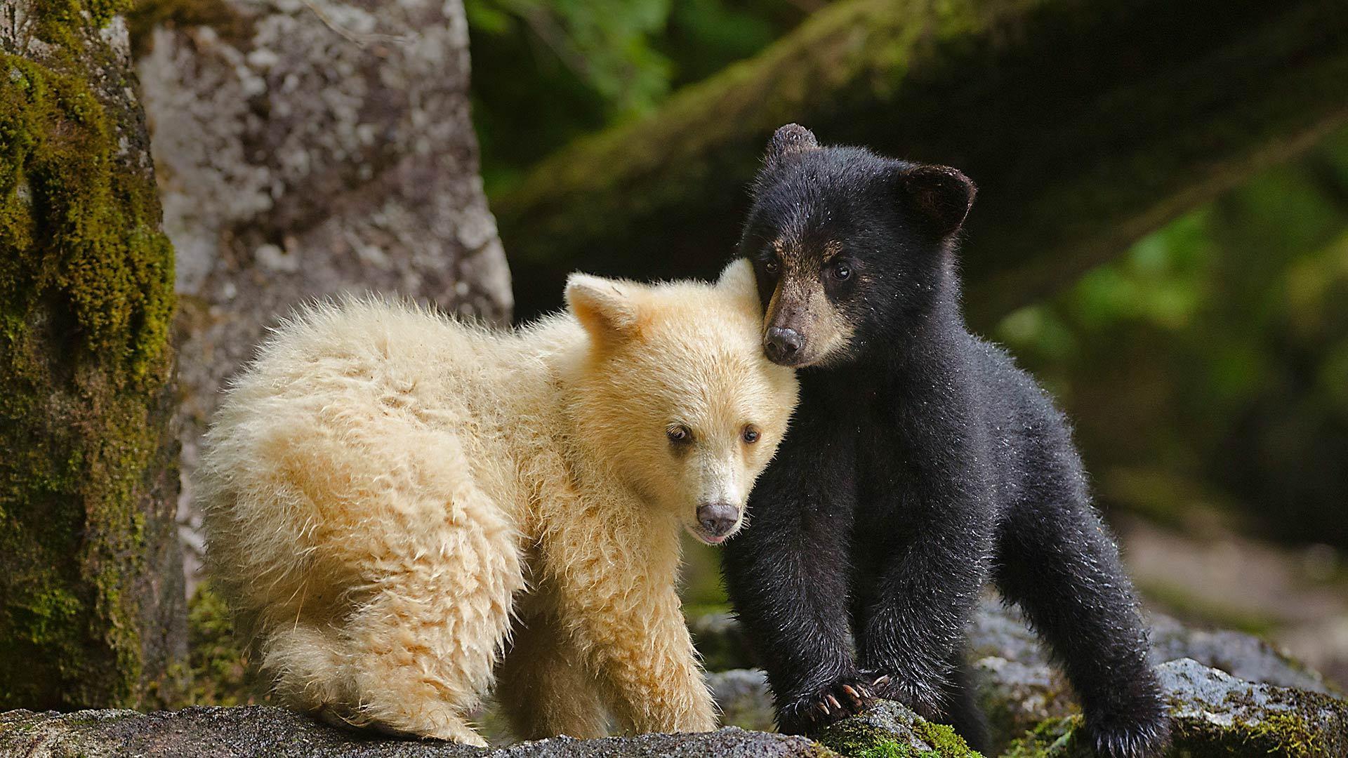 大熊雨林中一只柯莫德熊幼崽跟它的同胞挤在一起柯莫德熊