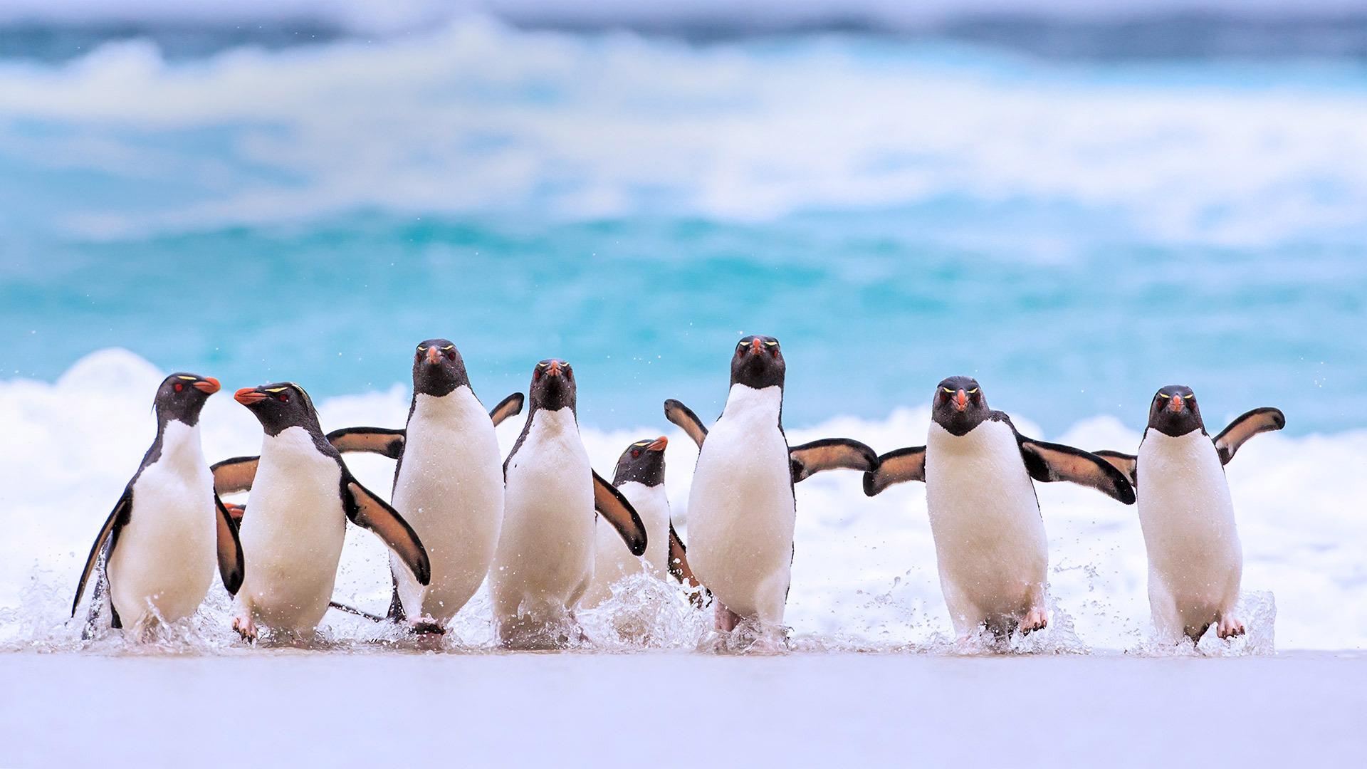 福克兰群岛上的南跳岩企鹅跳岩企鹅