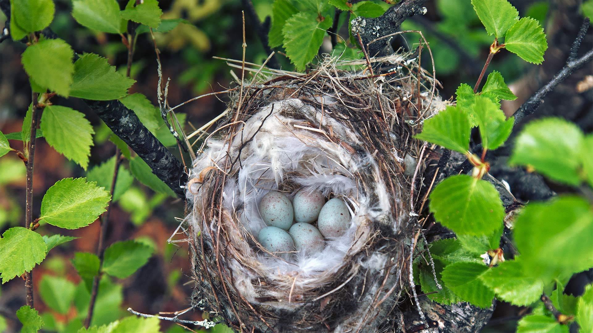 极北朱顶雀的巢朱顶雀