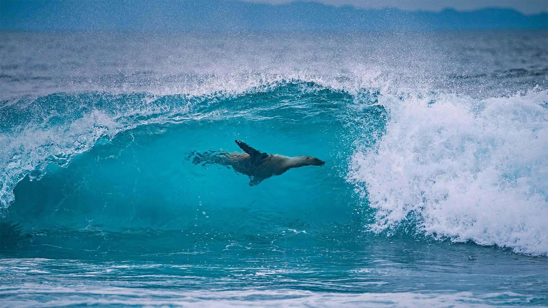 费尔南迪纳岛海岸的加拉帕戈斯海狮加拉帕戈斯海狮