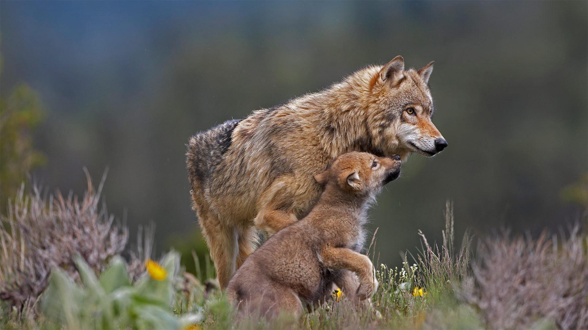 同乞食的小狗在一起的灰狼灰狼