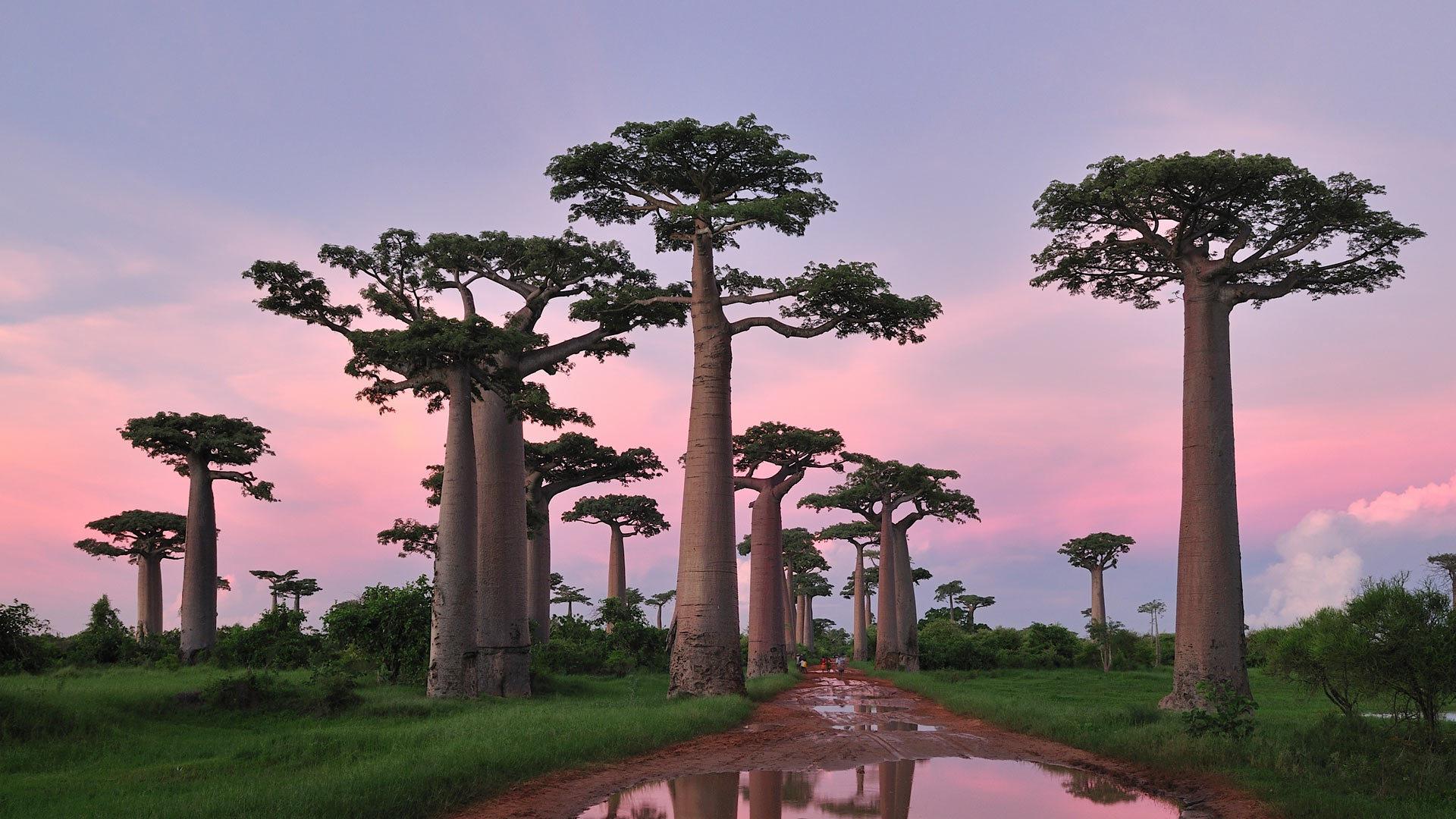 穆龙达瓦附近的格兰迪尔猴面包树林,马达加斯加