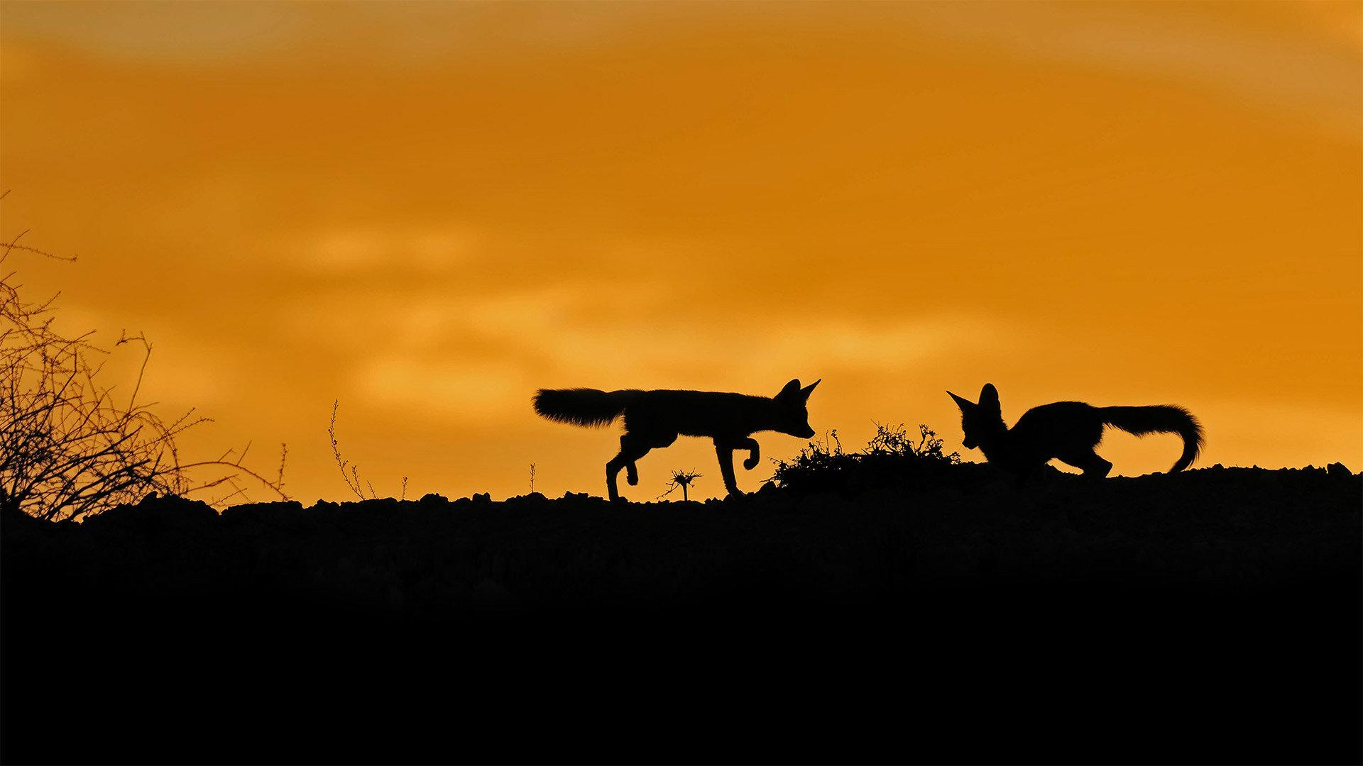 卡拉哈里沙漠中的南非狐南非狐