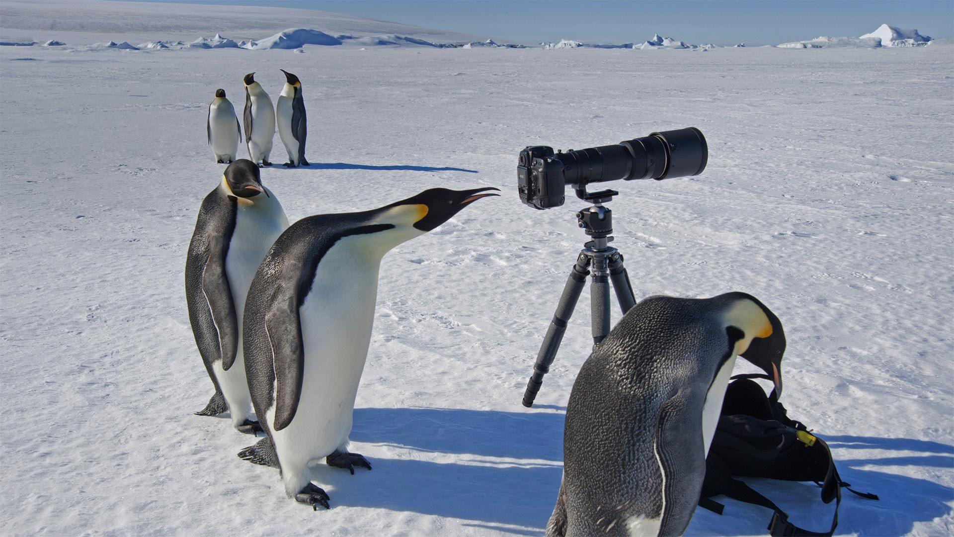 一群好奇的帝企鹅 帝企鹅