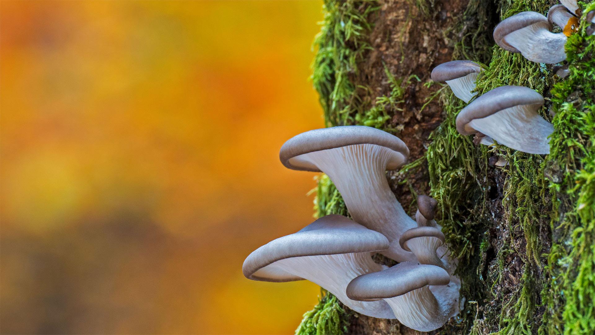 比利时的平菇 平菇