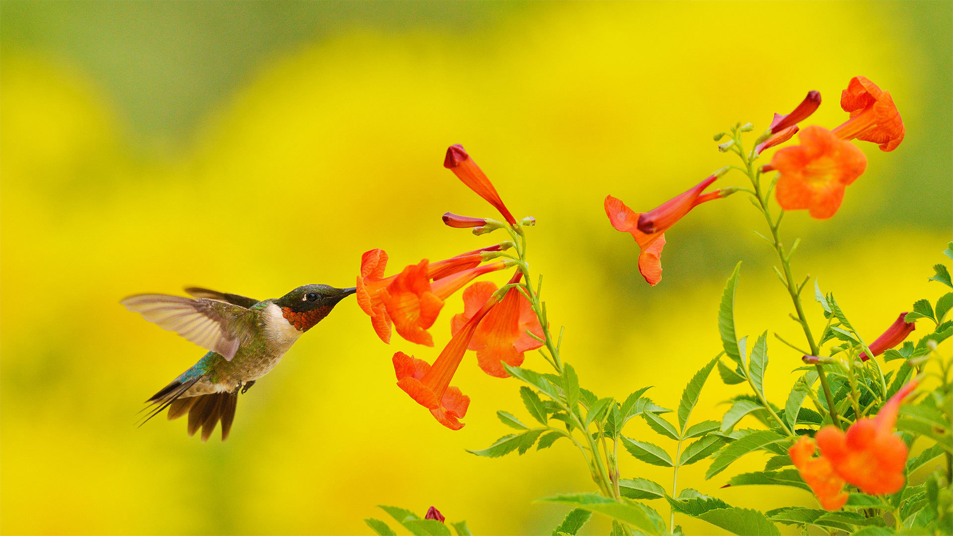 在食用黄钟花的红喉北蜂鸟红喉北蜂鸟