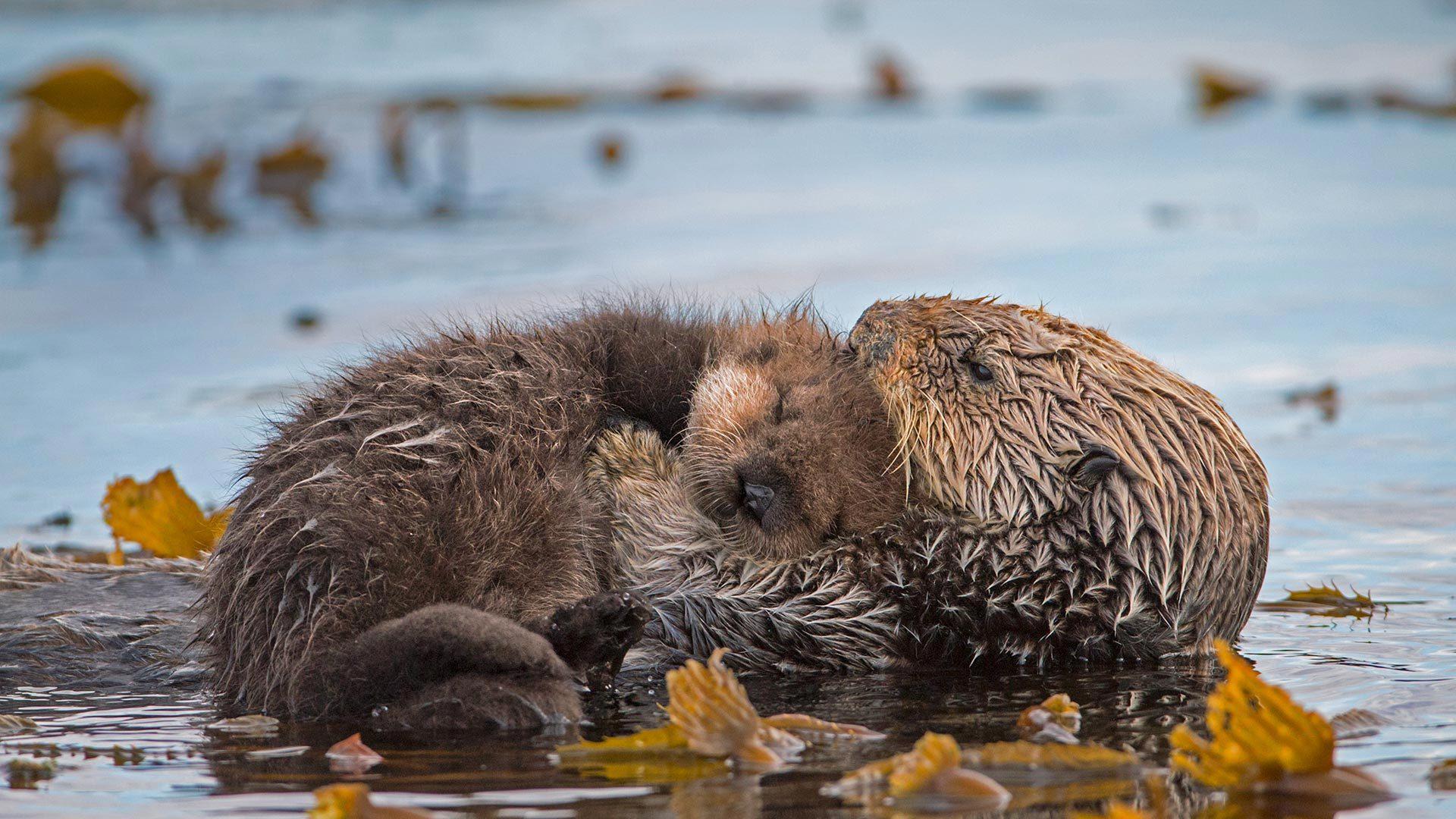 海獭妈妈和新生的小狗海獭