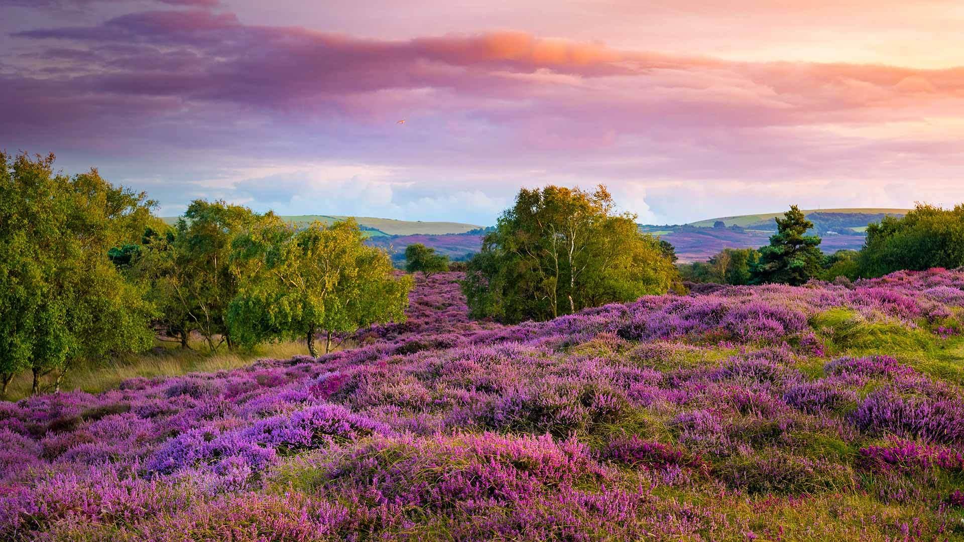 斯塔德兰附近荒野上丛生的紫色和粉红色帚石楠斯塔德兰