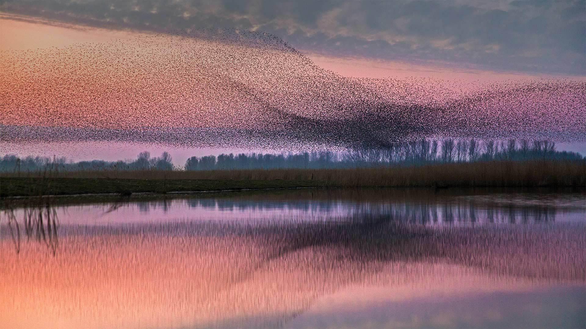 Lauwersmeer国家公园上空的椋鸟群Lauwersmeer国家公园