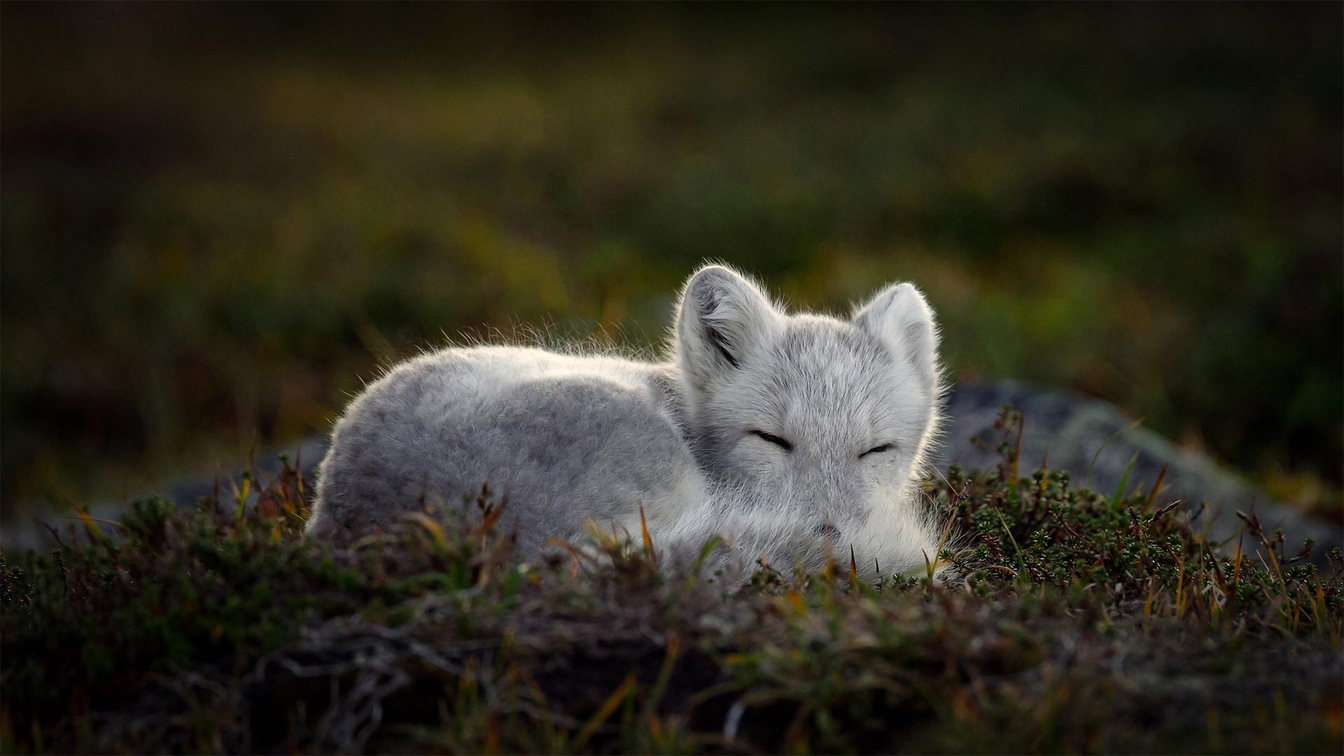 正在睡觉的北极狐 北极狐