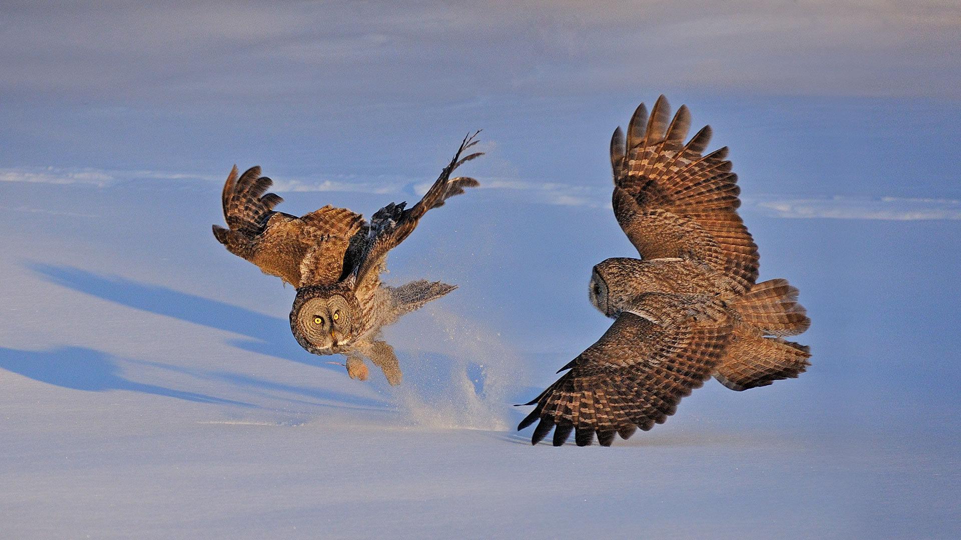 蒙特利尔的乌林鸮乌林鸮