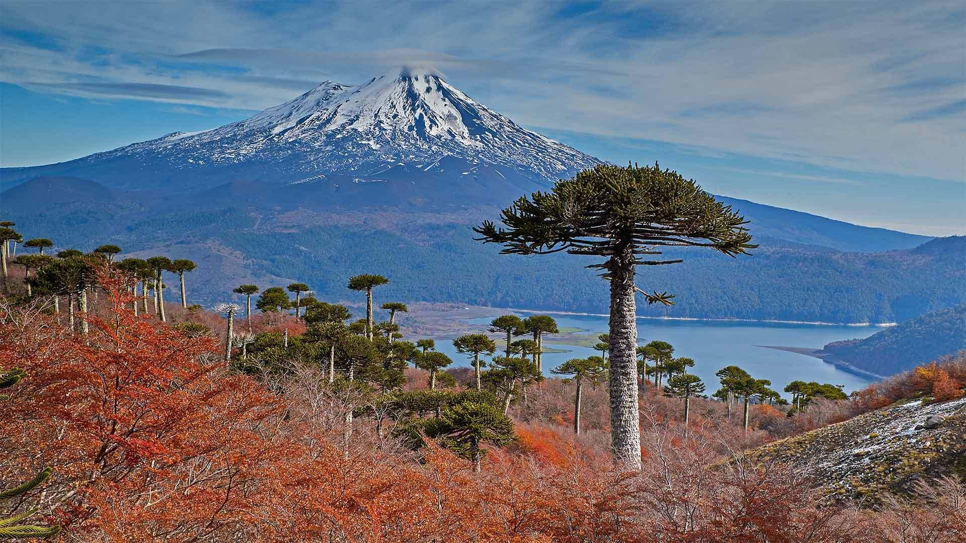 亚伊马火山与前景中的智利南洋杉亚伊马火山