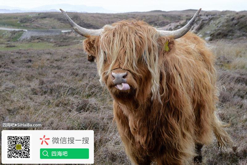 前方高能!一下子烤一整头牛是什么样的感受? 涨姿势 第1张