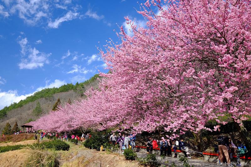 【台中】武陵农场樱花季2021:住宿露营、交通门票&樱花景点地图全攻略