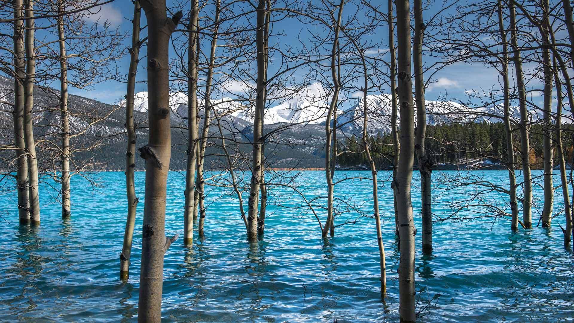 亚伯拉罕湖中的树亚伯拉罕湖