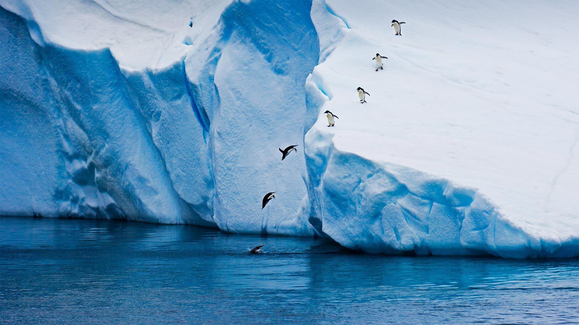 从冰山跃入水中的阿德利企鹅阿德利企鹅