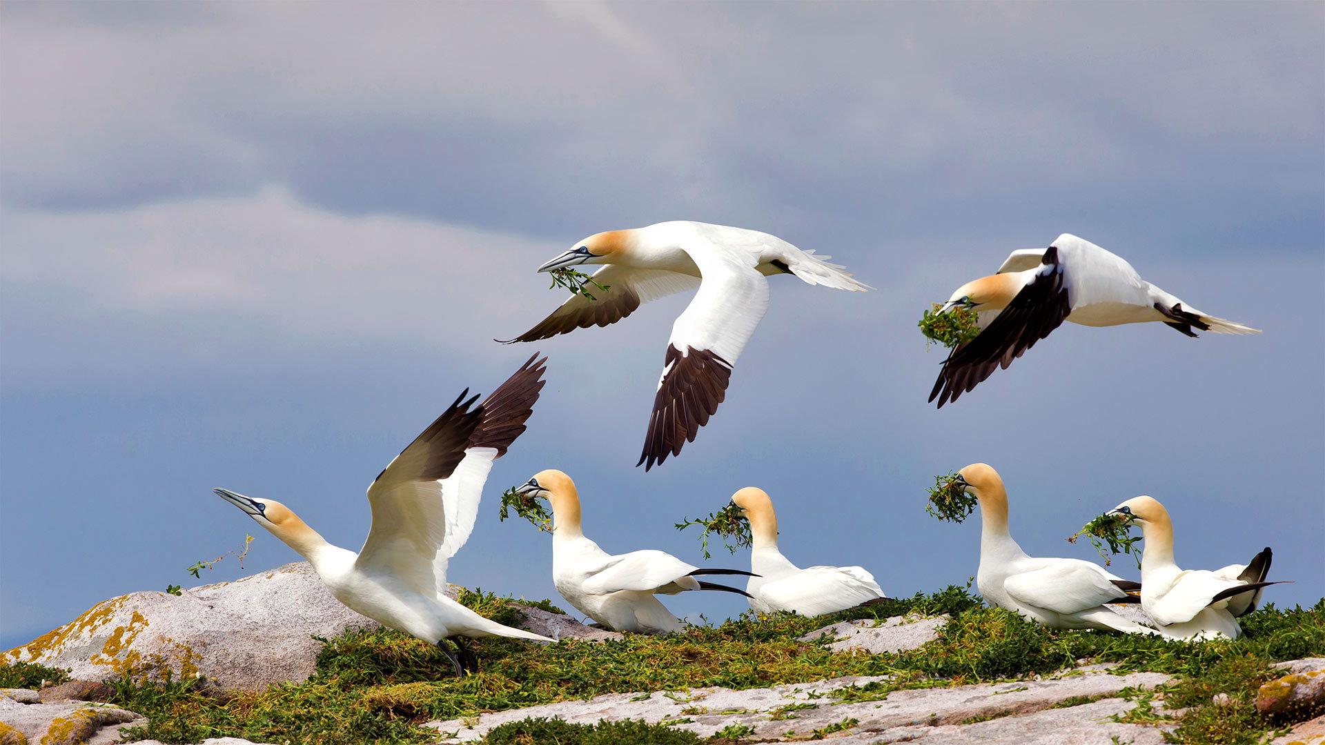 大萨尔提岛上的北方塘鹅塘鹅