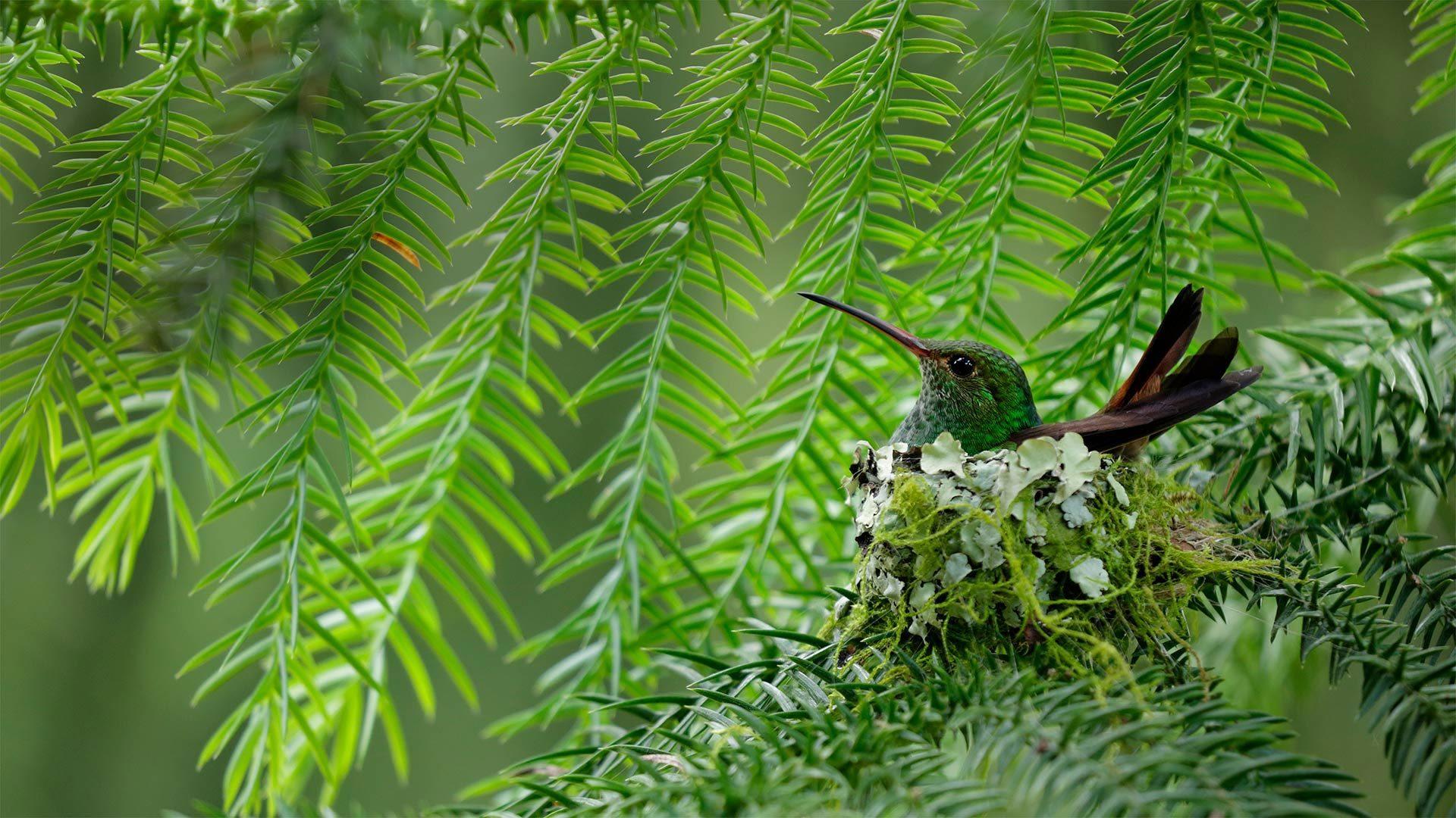 一只棕尾蜂鸟