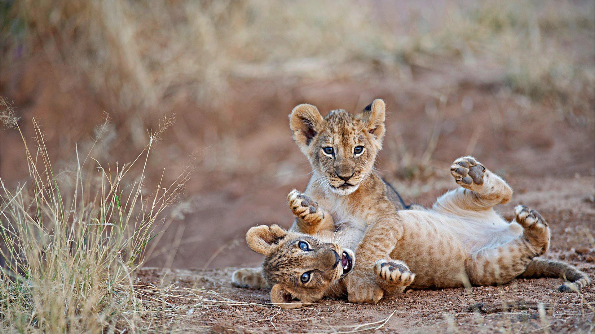 桑布鲁国家公园里摔跤的狮子幼崽