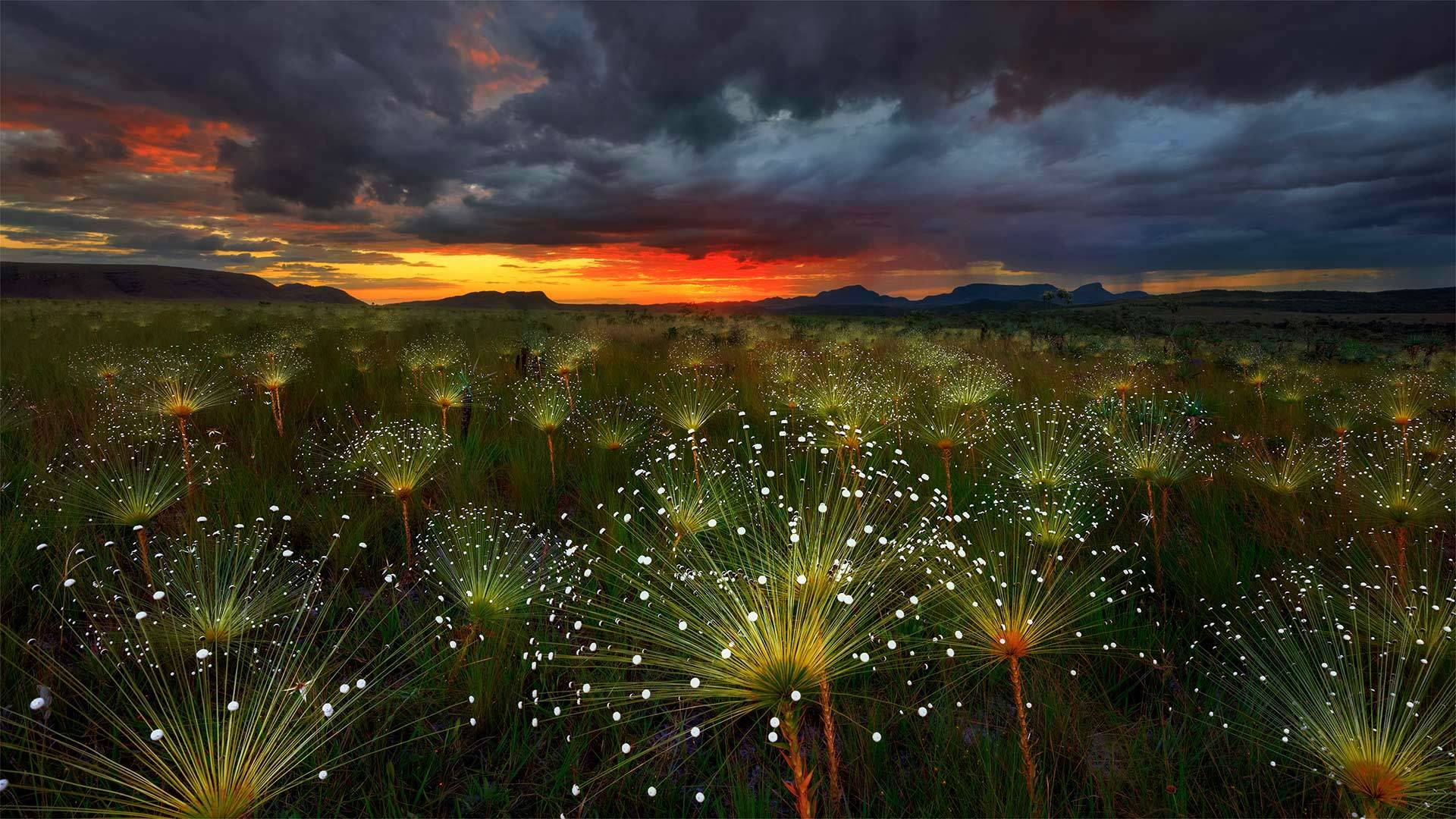 日落时的Paepalanthus花