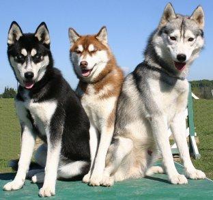 西伯利亚雪橇犬品种之哈士奇