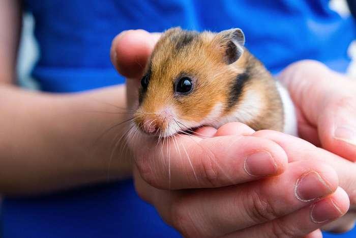 哺乳动物物种:萌物仓鼠