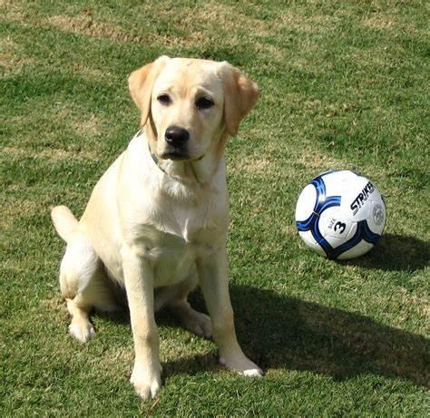 友好伴侣拉布拉多犬