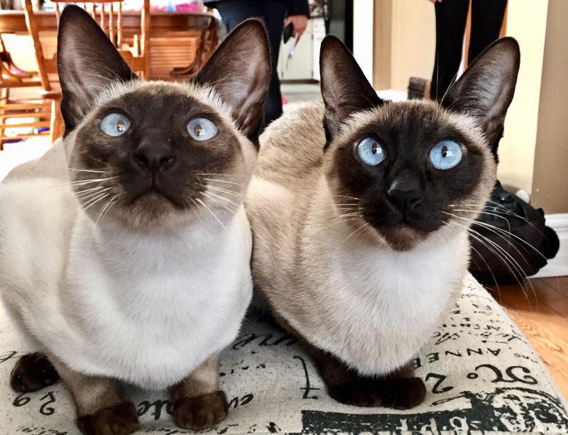 宠物暹罗猫狂热粉丝