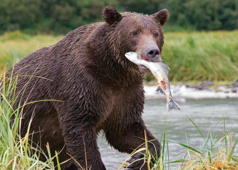 阿拉斯加垂钓灰熊的梦想