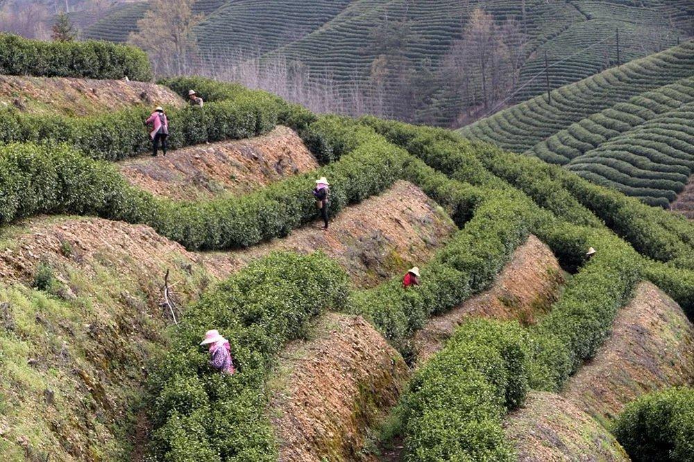 茶山春色满园