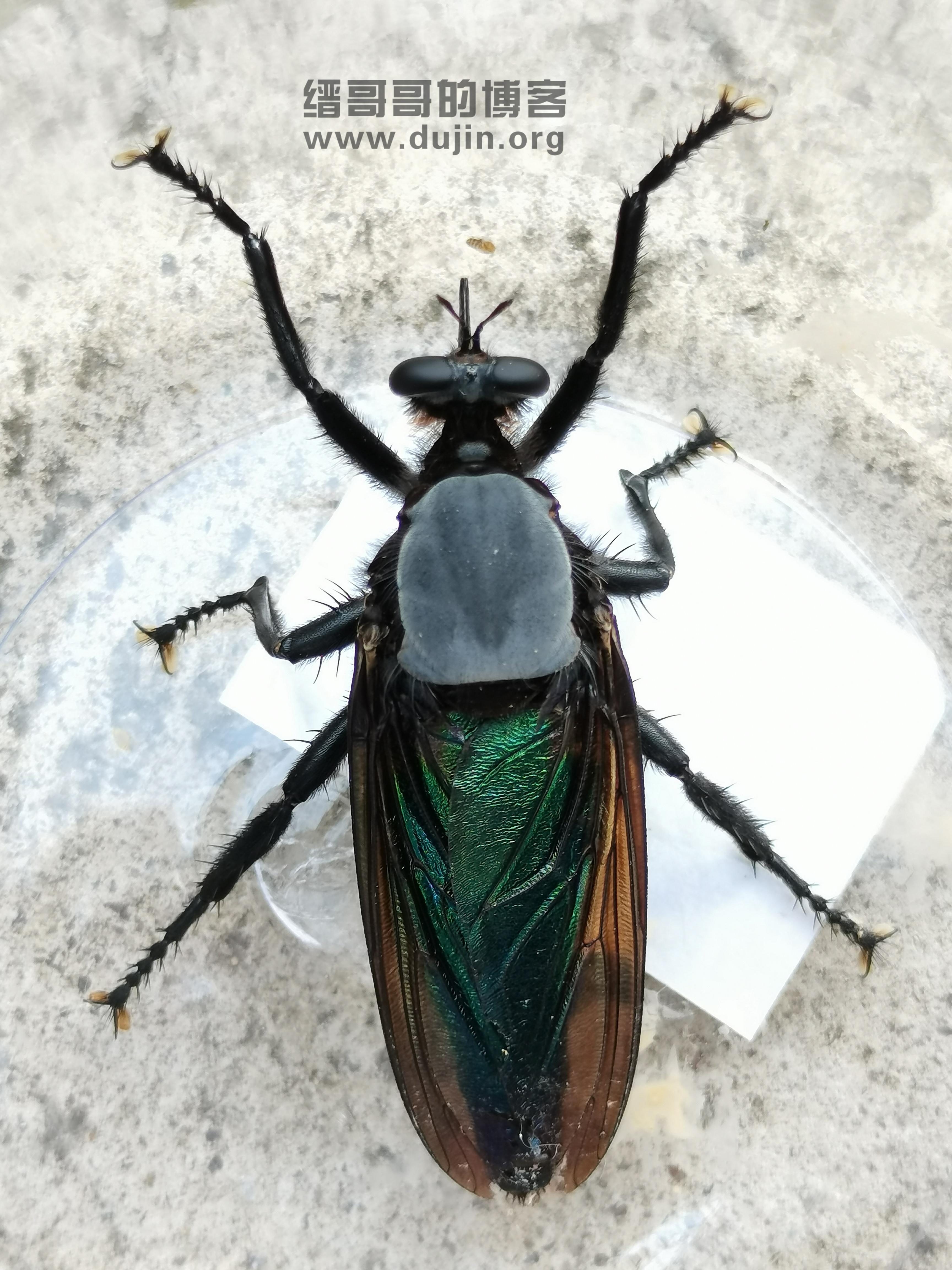 乡间记:大琉璃食虫虻 Microstylum oberthurii(11P)缙哥哥摄影