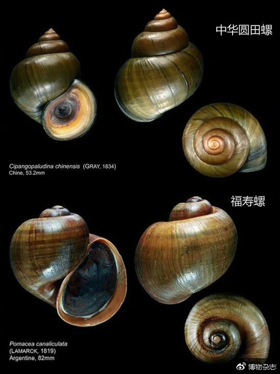 中华圆田螺(中国人常吃的田螺)与福寿螺的区别