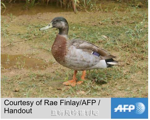 最孤独鸭子被狗咬死